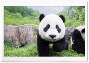 Panda Babies Interacting