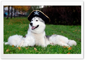 Husky With Pirate Hat