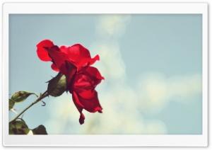 Red Rose, White--Blue