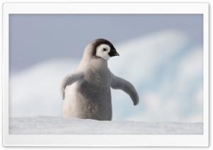 Baby Penguin, Antarctica