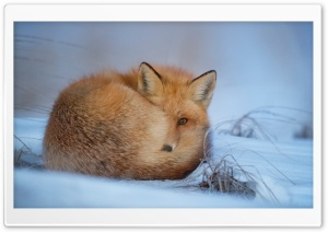 Red Fox, Cold Weather, Winter