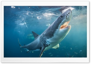 Shark - Akula