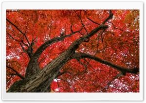 Japanese Maple, Late Autumn...