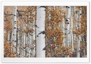 Quaking Aspen Trees Leaves,...