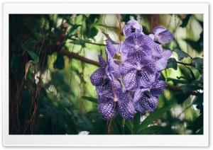 Vanda Orchid Flower