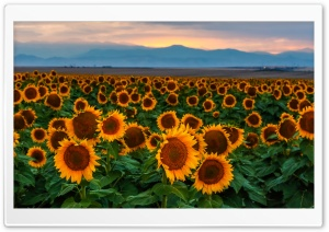 Sunflower Field, Sunset,...