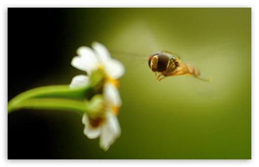 Download Flying Insect 1 UltraHD Wallpaper