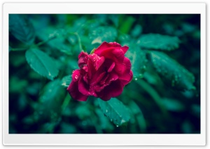 Red Rose and Green Leaves
