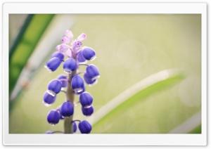 Grape Hyacinth Flower