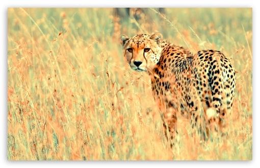Download Cheetah UltraHD Wallpaper