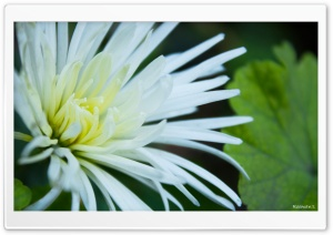 White Flowers with Thin Petals