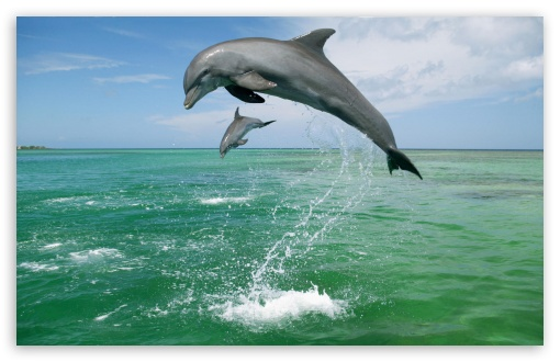 Download Bottlenose Dolphins Tursiops Truncatus... UltraHD Wallpaper