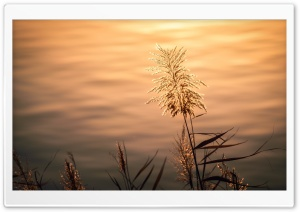 Silvergrass by the Lake