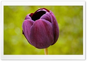 Burgundy Tulip Flower