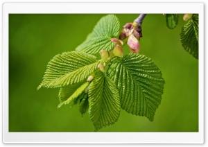 Green Elm Leaves Spring