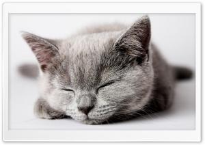 Sleepy Grey Kitten