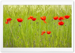 Red Poppies, Green Wheat Field