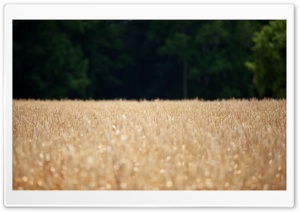 Wheat Field - Location Scouting