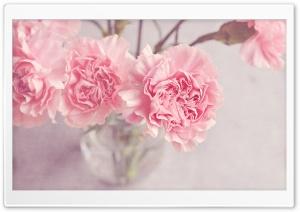 Light Pink Carnations Flowers...