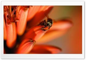 Honey Bee, Red Aloe Flower