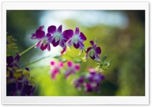 Purple Dendrobium Orchids...