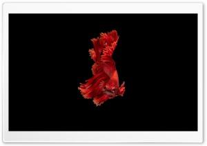 Beautiful Red Betta Siamese...