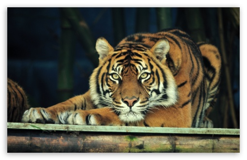 Download Sumatran Tiger UltraHD Wallpaper