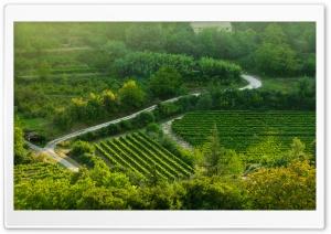 Grape Fields, Provence