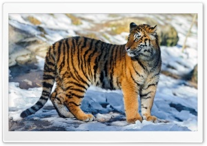 Tiger Standing in the Snow
