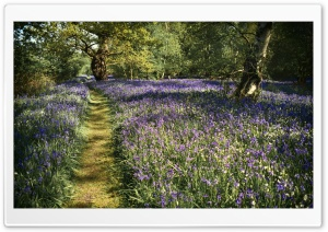 Path, Spring Bluebells...