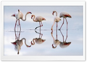 Greater Flamingos Fuente De...