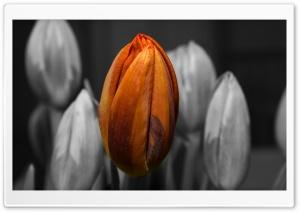 Orange Tulip Black and White...