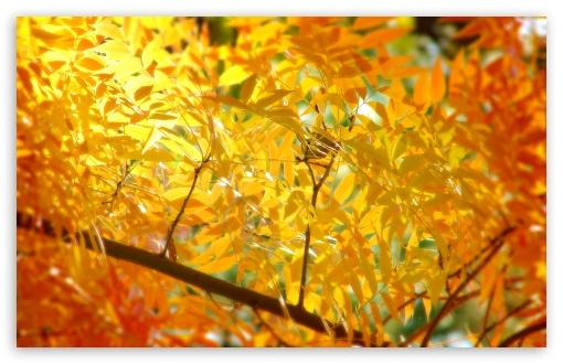 Download Yellow   Orange Autumn Foliage UltraHD Wallpaper