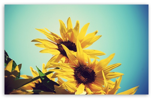 Download Sunflowers Against Blue Sky UltraHD Wallpaper