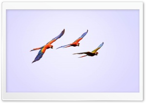 Macaw Parrots Flying