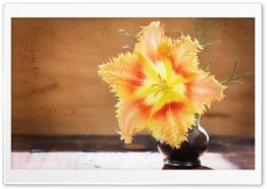 Fringed Tulip In Bloom