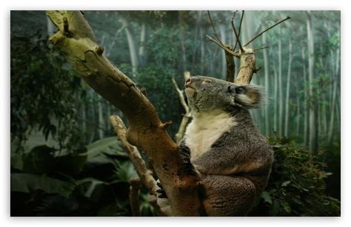 Download Koala In Tree UltraHD Wallpaper