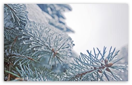 Download Frozen Fir Tree Needles UltraHD Wallpaper