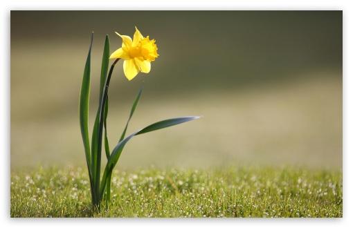 Download Single Daffodil UltraHD Wallpaper