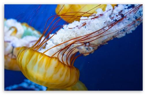 Download Japanese Sea Nettle UltraHD Wallpaper
