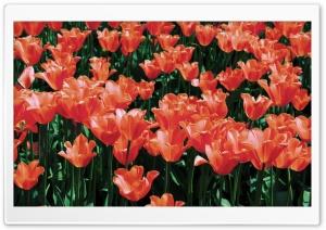 Orange Tulips Field