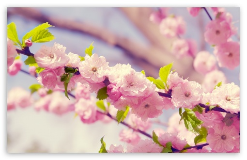 Download Japanese Cherry Tree UltraHD Wallpaper