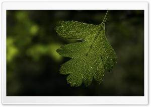 Hawthorns Leaf