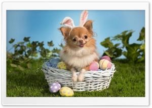 Chihuahua Wearing Bunny Ears
