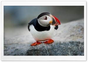 Atlantic Puffin Bird