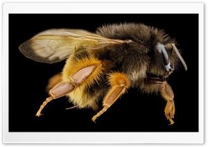 Bombus Eximius Bumblebee