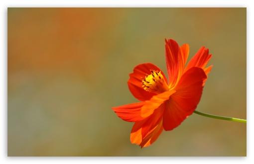 Download Orange Cosmos Flower UltraHD Wallpaper