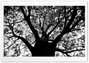 Knew A Tree In Boston