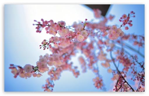 Download Pink Spring Flowers UltraHD Wallpaper