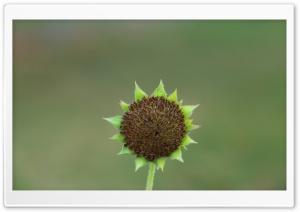 Green Sunflower Seed Head